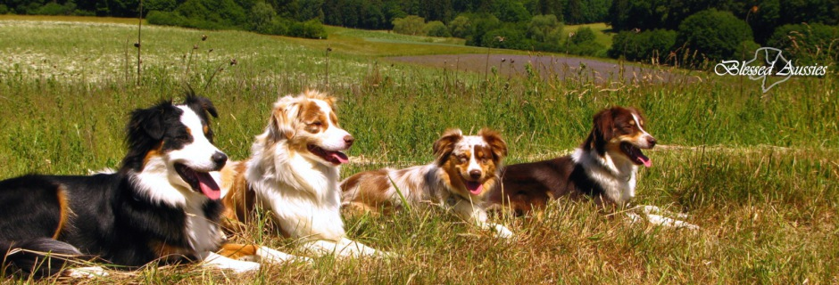 Rasse Info Aussies Toy Miniature Australian Shepherds